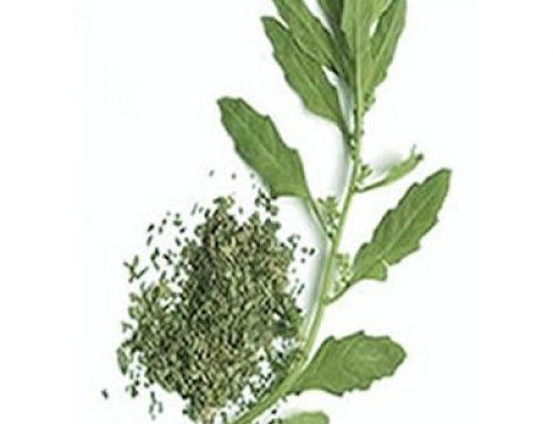 Epazote seeds (100 seeds)